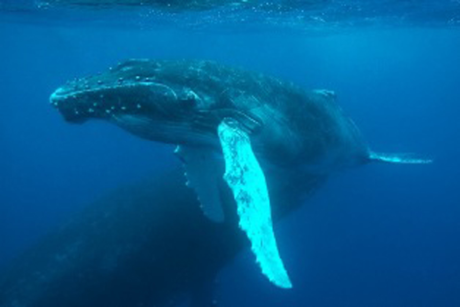 a general overview of the humpback whales Noaa fisheries issued a final rule to re-codify existing humpback whale approach regulations under the esa so they apply to both threatened and regulatory overview.